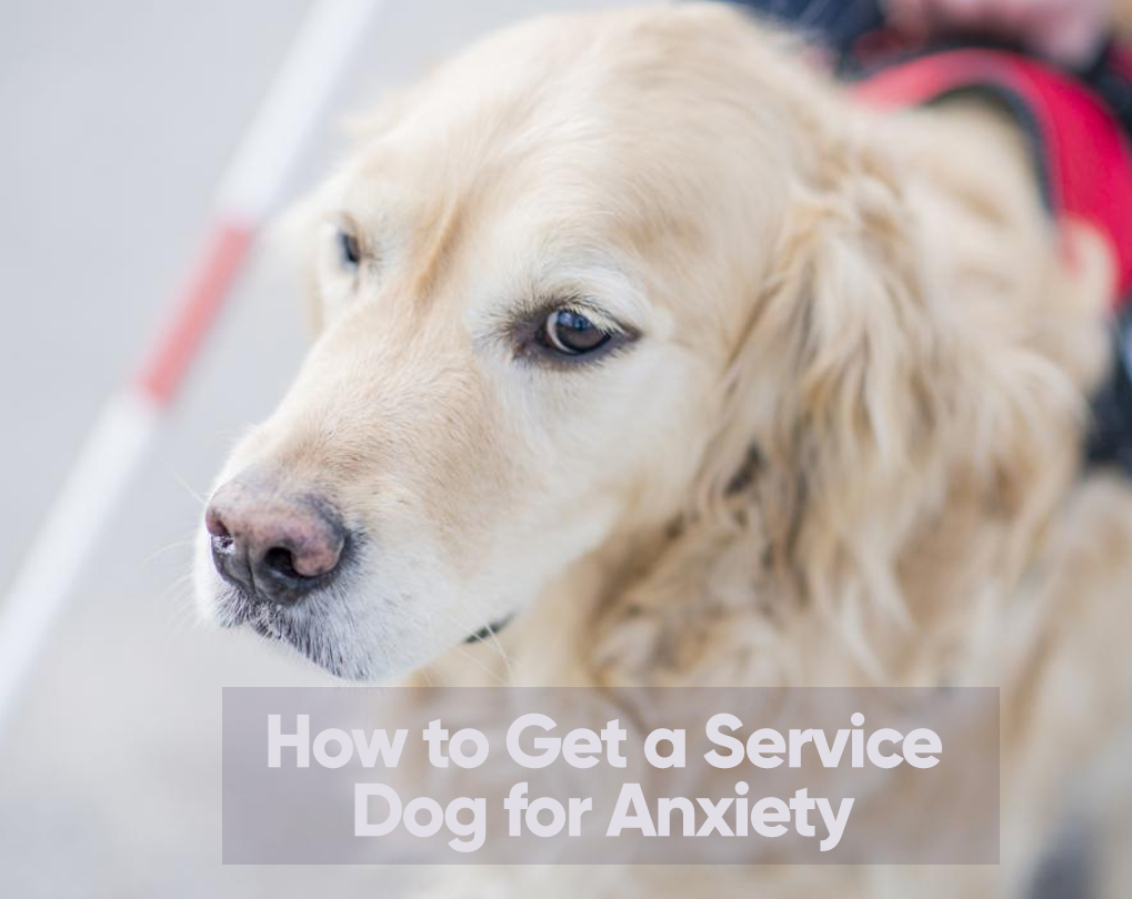 How To Get A Service Dog For Anxiety And Depression